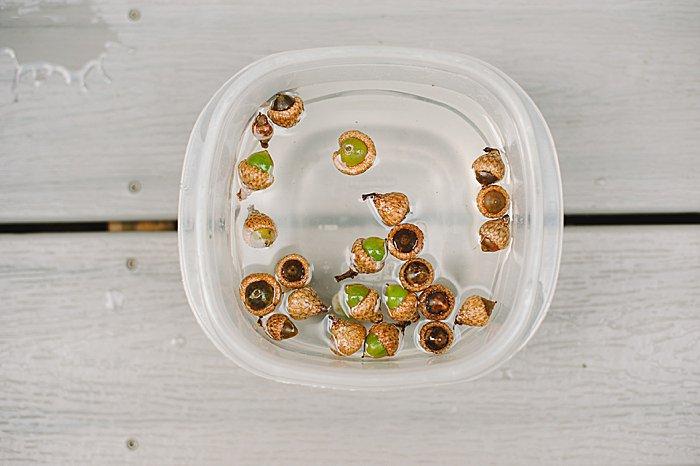 Soak acorns in vinegar and water to sanitize them.