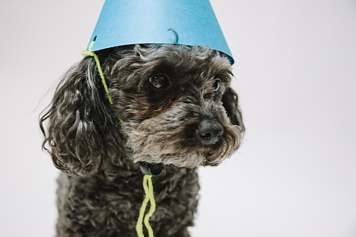 handmade paper party hat and a toy poodle wearing it